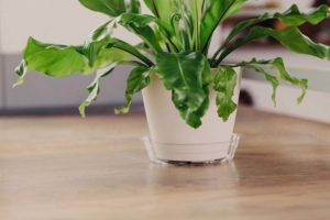 Clear plastic plant saucer under white plastic planter with green leaf house plant